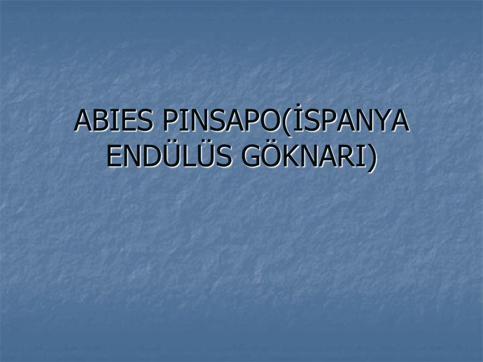 ABIES PINSAPO(İSPANYA ENDÜLÜS GÖKNARI)