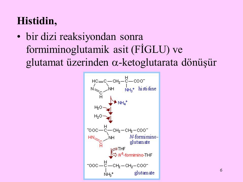 6 Histidin, bir dizi reaksiyondan sonra formiminoglutamik asit (FİGLU) ve glutamat üzerinden  -ketoglutarata dönüşür