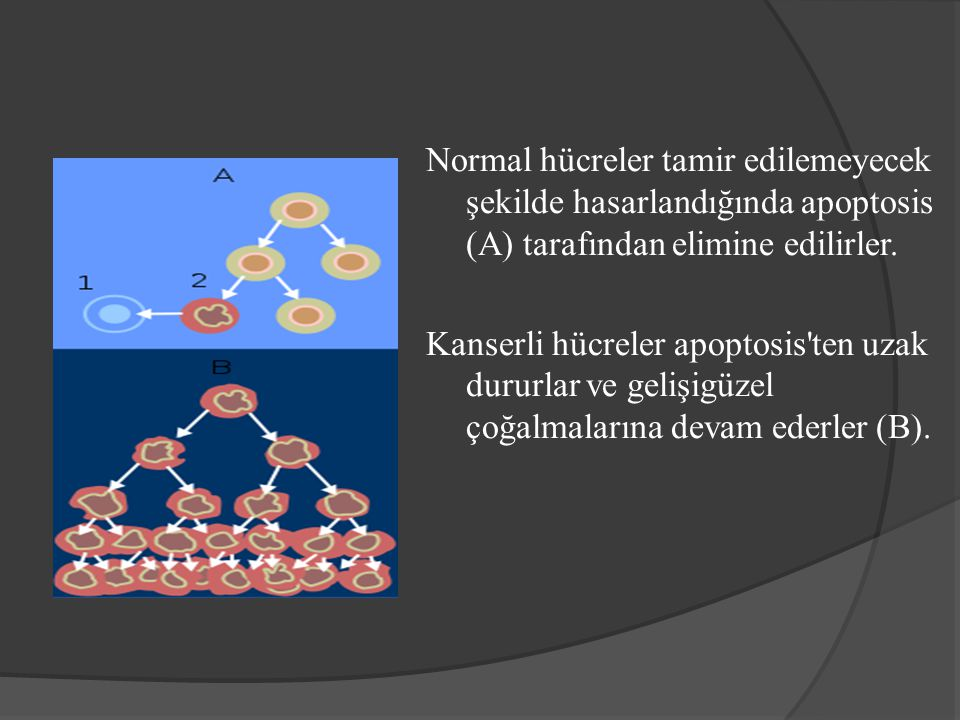 Normal hücreler tamir edilemeyecek şekilde hasarlandığında apoptosis (A) tarafından elimine edilirler. Kanserli hücreler apoptosis'ten uzak dururlar v