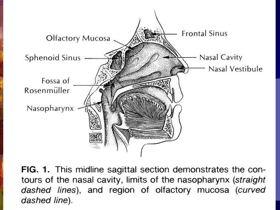 Sinonazal CA-3  Tedavi cerrahi+ RT  Tedavi modeline bakılmaksızın rekürrens sıktır  Ölüm tipik olarak lokal yayılımlardandır  Oral kavite ve larinksin SCC na eşlik eden 2.