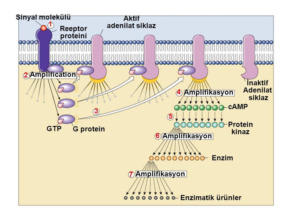 Sinyal molekülü Reeptor proteini Aktif adenilat siklaz Amplification Amplifikasyon GTP G protein 2 1 3 4 5 6 7 Enzimatik ürünler Enzim Protein kinaz cAMP İnaktif Adenilat siklaz