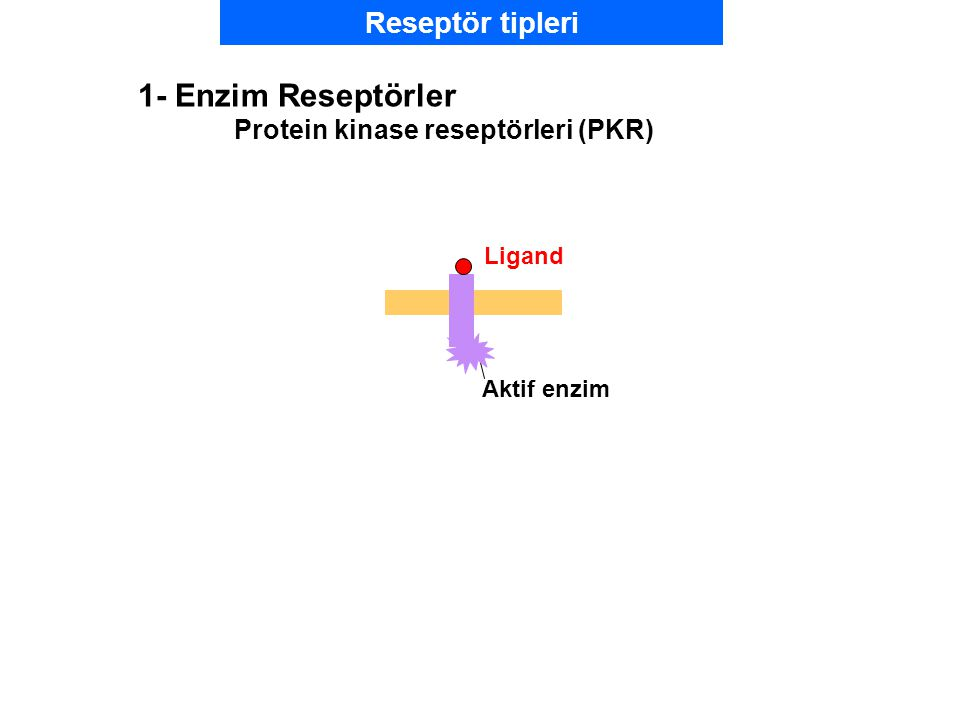 Ligand Aktif enzim 1- Enzim Reseptörler Protein kinase reseptörleri (PKR) Reseptör tipleri