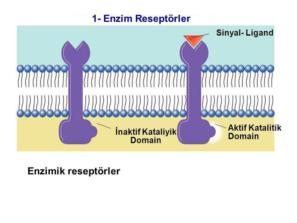 Fig. 7.5b (TEArt) Enzimik reseptörler Sinyal- Ligand İnaktif Kataliyik Domain Aktif Katalitik Domain 1- Enzim Reseptörler