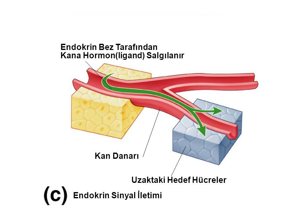 Fig. 7.2c (TEArt) Endokrin Sinyal İletimi Endokrin Bez Tarafından Kana Hormon(ligand) Salgılanır Kan Danarı Uzaktaki Hedef Hücreler