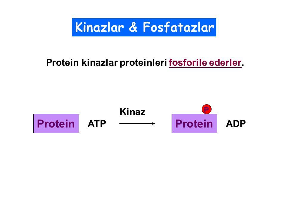 Protein kinazlar proteinleri fosforile ederler.