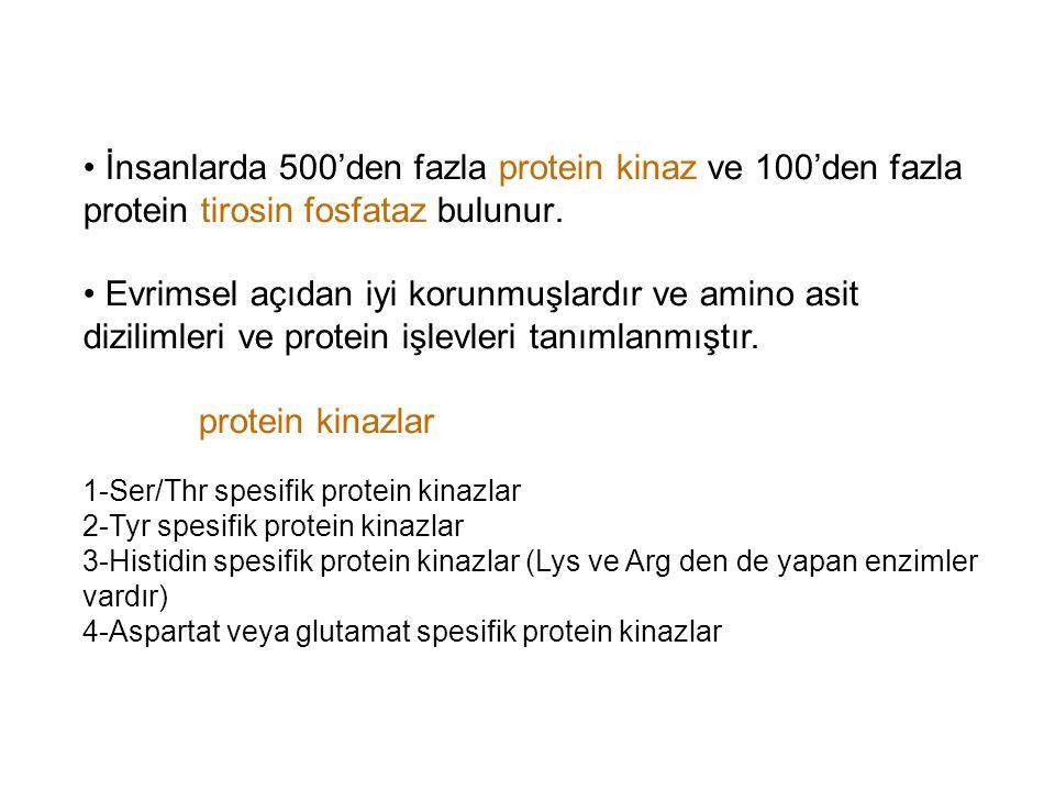 İnsanlarda 500'den fazla protein kinaz ve 100'den fazla protein tirosin fosfataz bulunur.