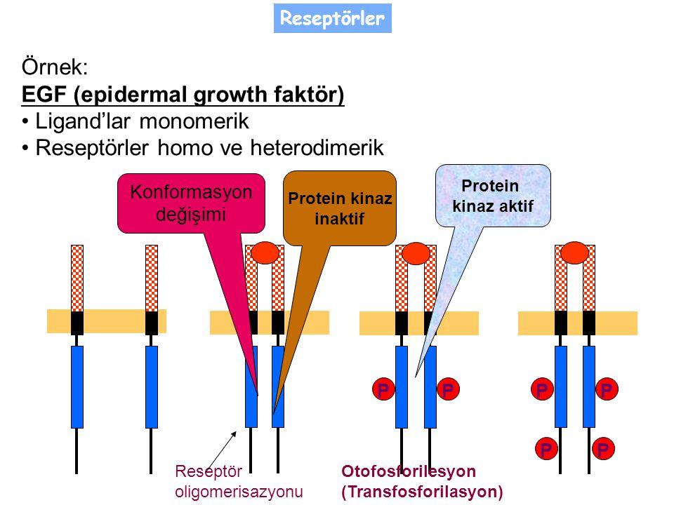 PP PP PP Örnek: EGF (epidermal growth faktör) Ligand'lar monomerik Reseptörler homo ve heterodimerik Protein kinaz aktif Otofosforilesyon (Transfosforilasyon) Protein kinaz inaktif Konformasyon değişimi Reseptör oligomerisazyonu Reseptörler