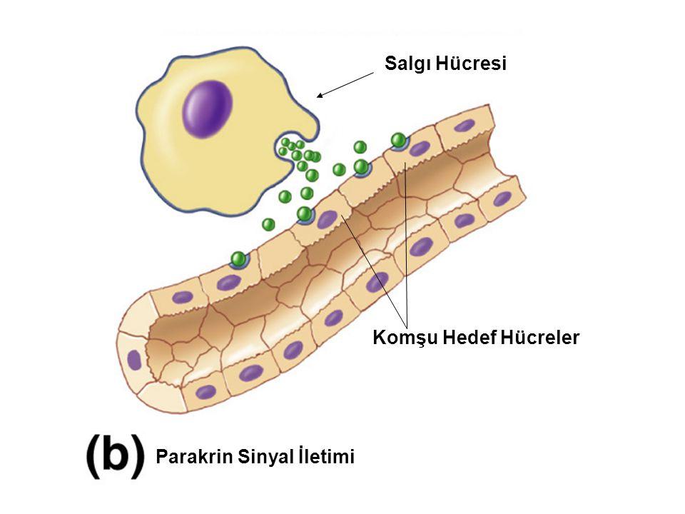 enzyme Reseptör tipleri 4- G-protein- bağlı reseptörler epinefrine, serotonin ve glukagon reseptörleri