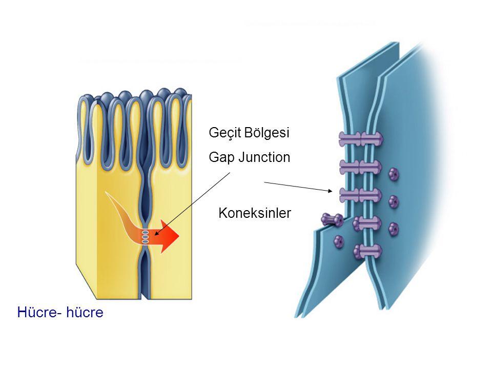 Hücre- hücre Geçit Bölgesi Gap Junction Koneksinler