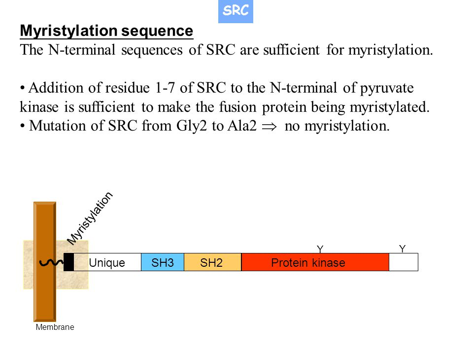 SH3SH2Protein kinase Unique Myristylation Membrane Y Y Myristylation sequence The N-terminal sequences of SRC are sufficient for myristylation. Additi