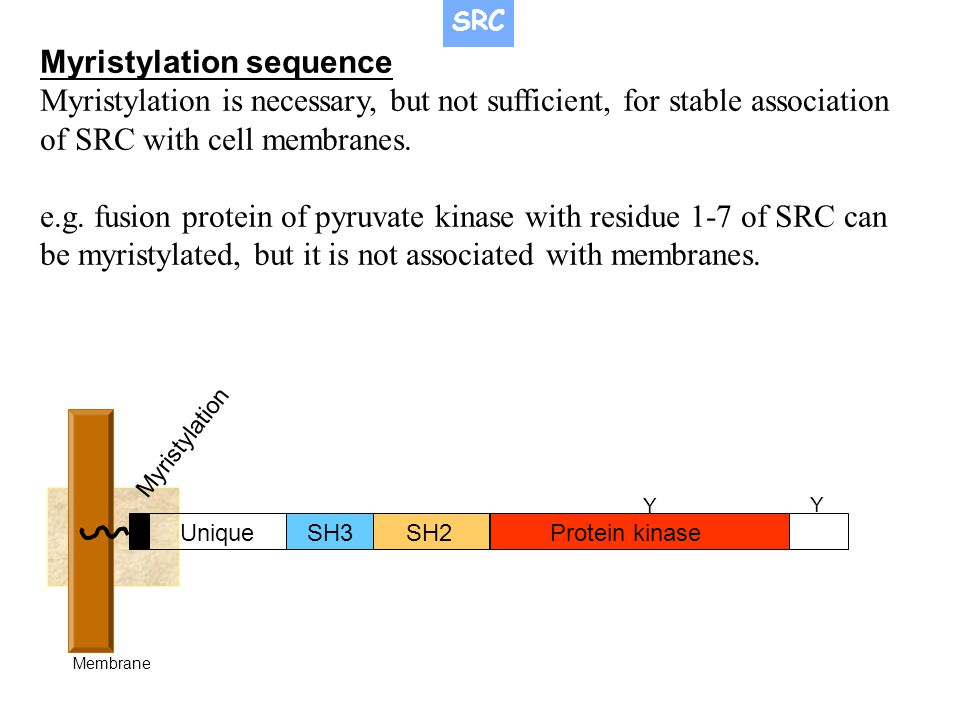 SH3SH2Protein kinase Unique Myristylation Membrane Y Y Myristylation sequence Myristylation is necessary, but not sufficient, for stable association o