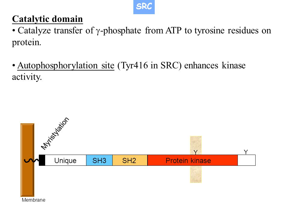 SH3SH2Protein kinase Unique Myristylation Membrane Y Y Catalytic domain Catalyze transfer of  -phosphate from ATP to tyrosine residues on protein. Au