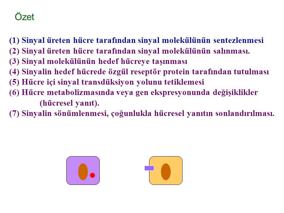 Özet (1) Sinyal üreten hücre tarafından sinyal molekülünün sentezlenmesi (2) Sinyal üreten hücre tarafından sinyal molekülünün salınması.