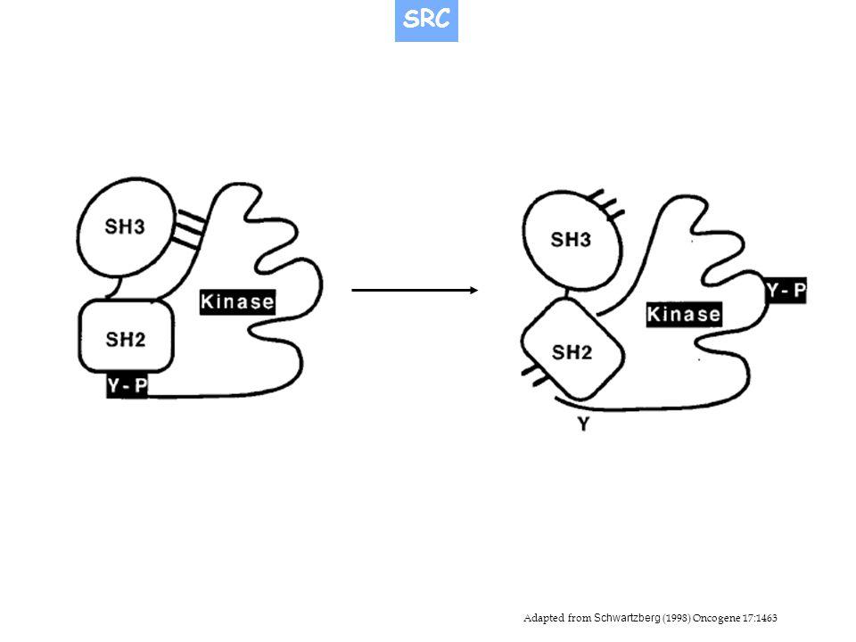 Adapted from Schwartzberg (1998) Oncogene 17:1463 SRC