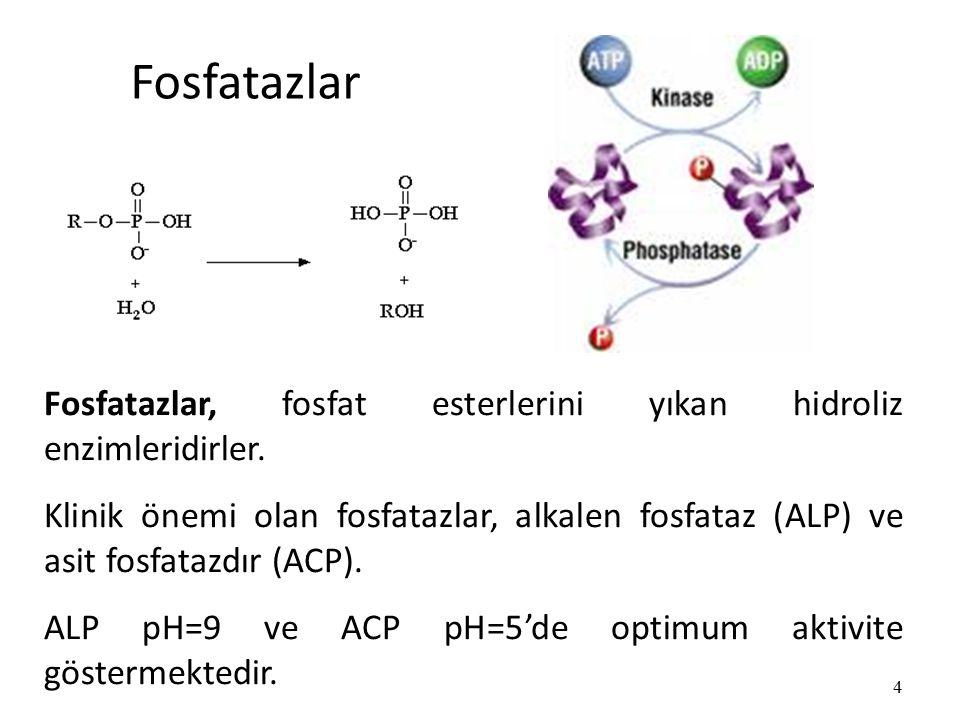 Fosfatazlar 4 Fosfatazlar, fosfat esterlerini yıkan hidroliz enzimleridirler.