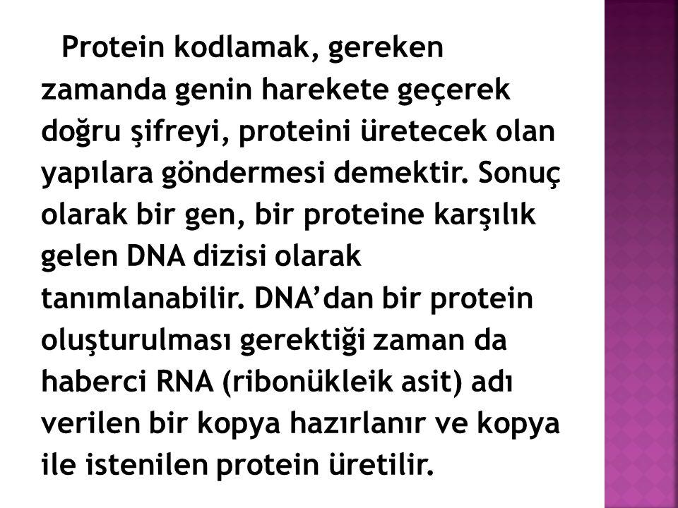 Protein kodlamak, gereken zamanda genin harekete geçerek doğru şifreyi, proteini üretecek olan yapılara göndermesi demektir. Sonuç olarak bir gen, bir