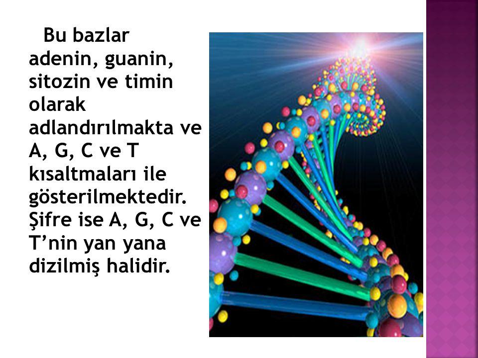 Bu bazlar adenin, guanin, sitozin ve timin olarak adlandırılmakta ve A, G, C ve T kısaltmaları ile gösterilmektedir. Şifre ise A, G, C ve T'nin yan ya
