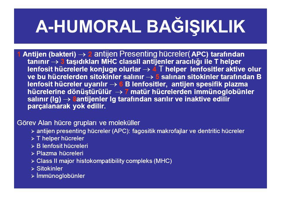 A-HUMORAL BAĞIŞIKLIK 1 Antijen (bakteri)  2 antijen Presenting hücreler( APC) tarafından tanınır  3 taşıdıkları MHC classII antijenler aracılığı ile