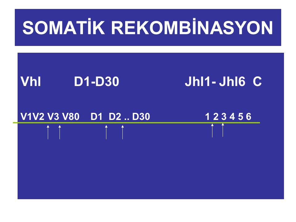SOMATİK REKOMBİNASYON Vhl D1-D30 Jhl1- Jhl6 C V1V2 V3 V80 D1 D2.. D30 1 2 3 4 5 6