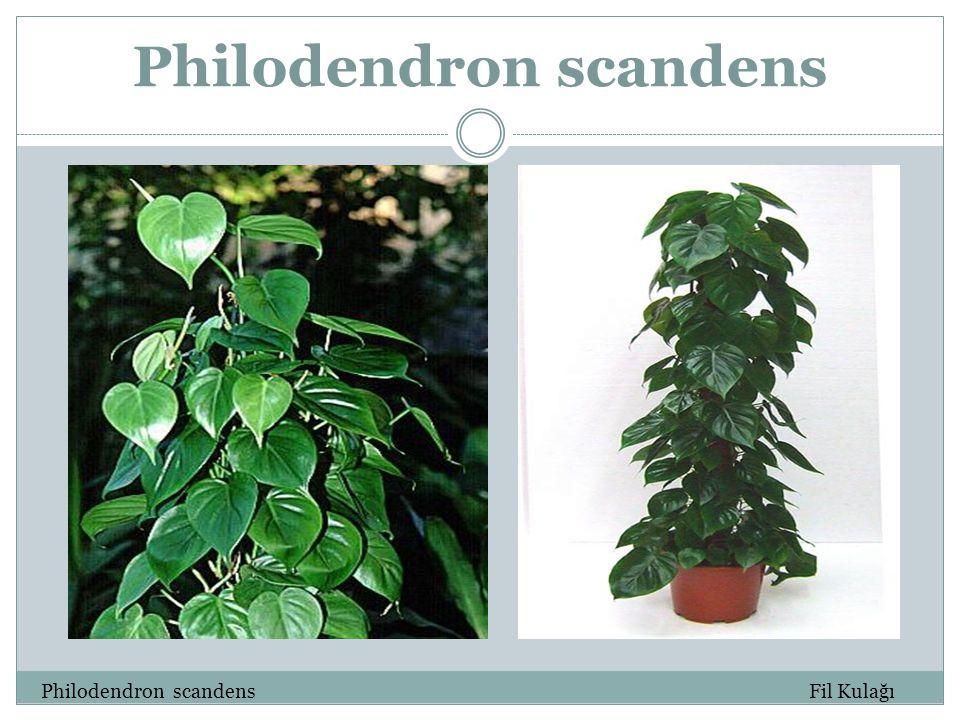 Philodendron scandens Philodendron scandens Fil Kulağı