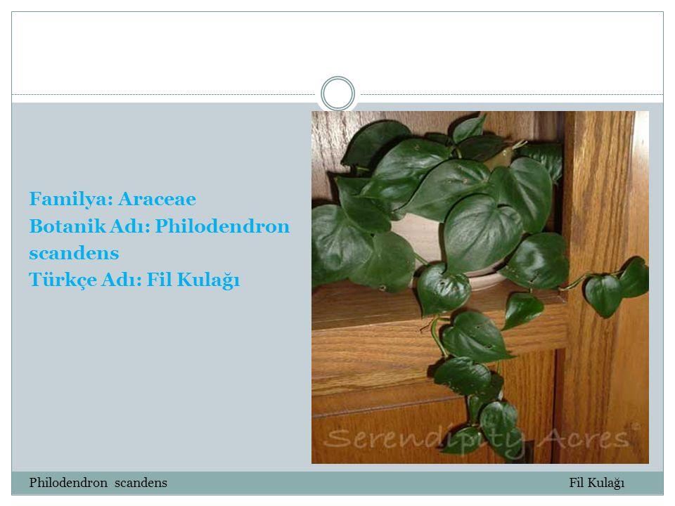 Familya: Araceae Botanik Adı: Philodendron scandens Türkçe Adı: Fil Kulağı Philodendron scandens Fil Kulağı