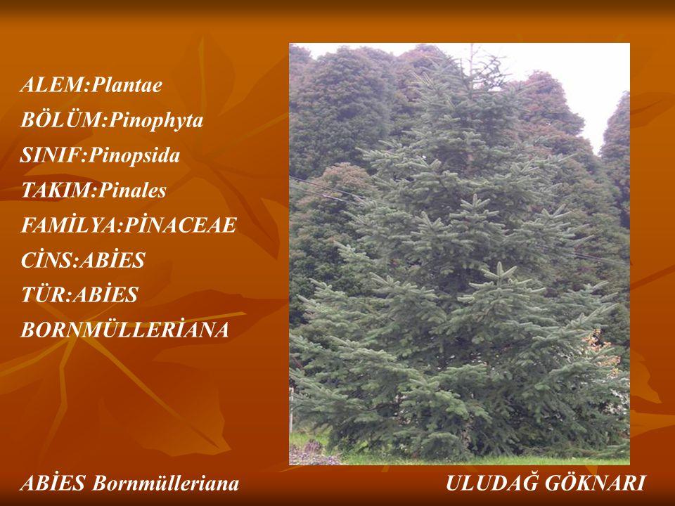 ALEM:Plantae BÖLÜM:Pinophyta SINIF:Pinopsida TAKIM:Pinales FAMİLYA:PİNACEAE CİNS:ABİES TÜR:ABİES BORNMÜLLERİANA ABİES Bornmülleriana ULUDAĞ GÖKNARI