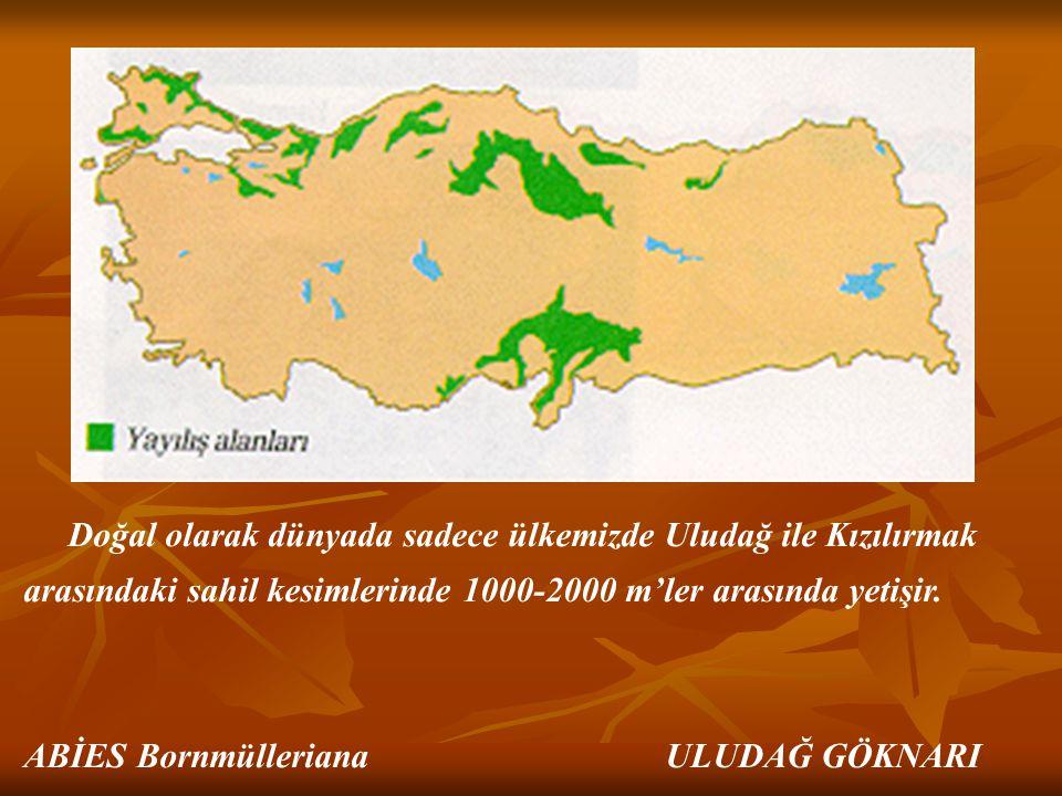 Doğal olarak dünyada sadece ülkemizde Uludağ ile Kızılırmak arasındaki sahil kesimlerinde 1000-2000 m'ler arasında yetişir. ABİES Bornmülleriana ULUDA