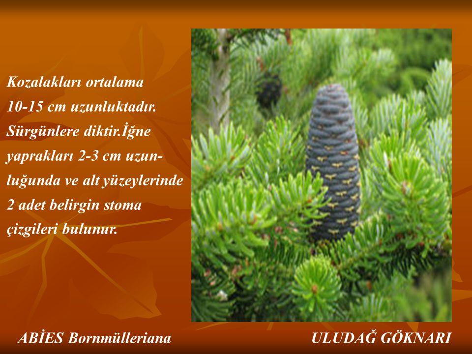 Kozalakları ortalama 10-15 cm uzunluktadır. Sürgünlere diktir.İğne yaprakları 2-3 cm uzun- luğunda ve alt yüzeylerinde 2 adet belirgin stoma çizgileri