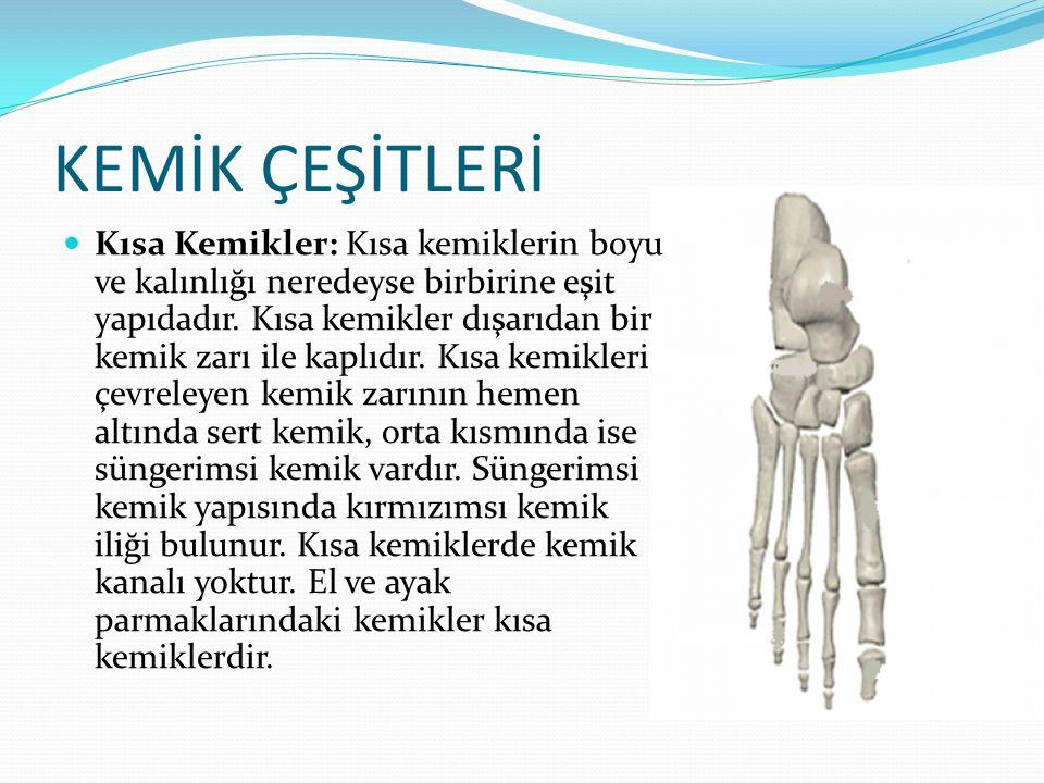 KEMİK ÇEŞİTLERİ Kısa Kemikler: Kısa kemiklerin boyu ve kalınlığı neredeyse birbirine eşit yapıdadır. Kısa kemikler dışarıdan bir kemik zarı ile kaplıd