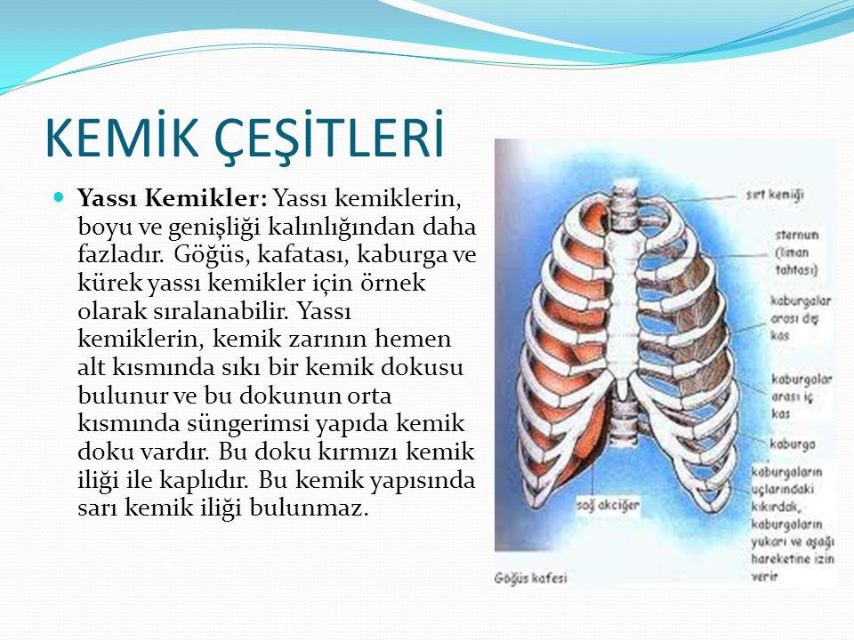 KEMİK ÇEŞİTLERİ Yassı Kemikler: Yassı kemiklerin, boyu ve genişliği kalınlığından daha fazladır. Göğüs, kafatası, kaburga ve kürek yassı kemikler için