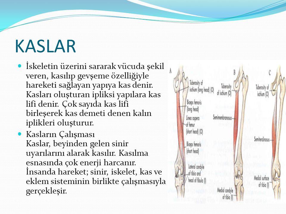 KASLAR İskeletin üzerini sararak vücuda şekil veren, kasılıp gevşeme özelliğiyle hareketi sağlayan yapıya kas denir. Kasları oluşturan ipliksi yapılar