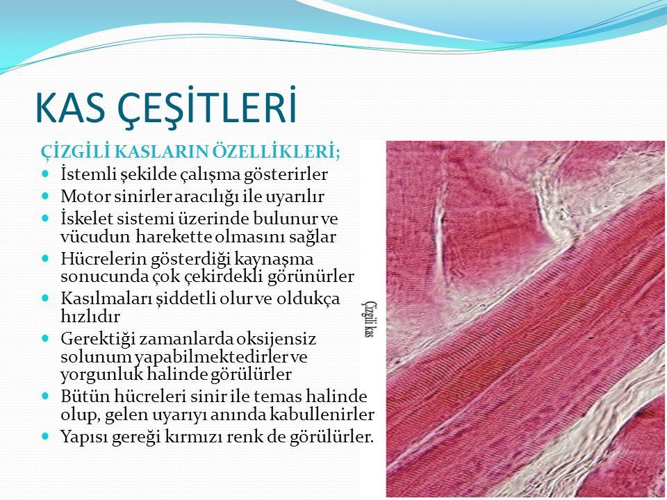 KAS ÇEŞİTLERİ Düz kasların özellikleri; Pembe renkli kaslardır Oksijensiz durumlarda solunum yapamazlar Çizgili dışların aksine glikojen depolayamazlar Bantlaşma işlemini gösteremezler İğ şeklinde ki hücrelerden oluşurlar İstem dışı hareket edebilirler kendini yenileme yetenekleri bulunmamaktadır Sinirleri tek grup hücreyi uyarır ve uyartı diğer hücrelere gruplarından, bu hücrelere gönderirler Kaslar içerisinde uyartıya verilen cevap olukça yavaştır