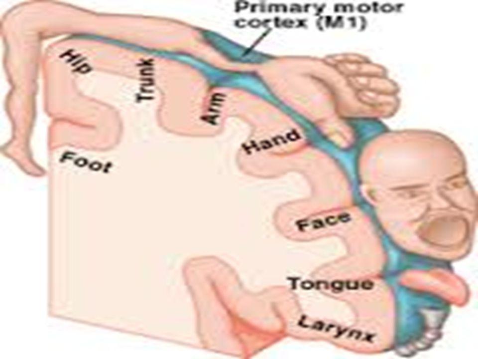 3) Esnemek beyni uyandırır  Esneme aktivitesini uyku hali veya sıkılmış olmakla ilişkilendirmemize rağmen esnemenin fonksiyonu uyandırmaktır.