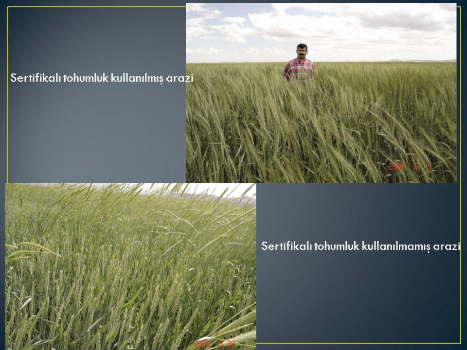 Sertifikalı tohumluk kullanılmış arazi Sertifikalı tohumluk kullanılmamış arazi