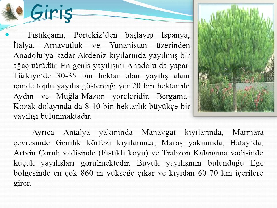 Giriş Fıstıkçamı, Portekiz'den başlayıp İspanya, İtalya, Arnavutluk ve Yunanistan üzerinden Anadolu'ya kadar Akdeniz kıyılarında yayılmış bir ağaç türüdür.