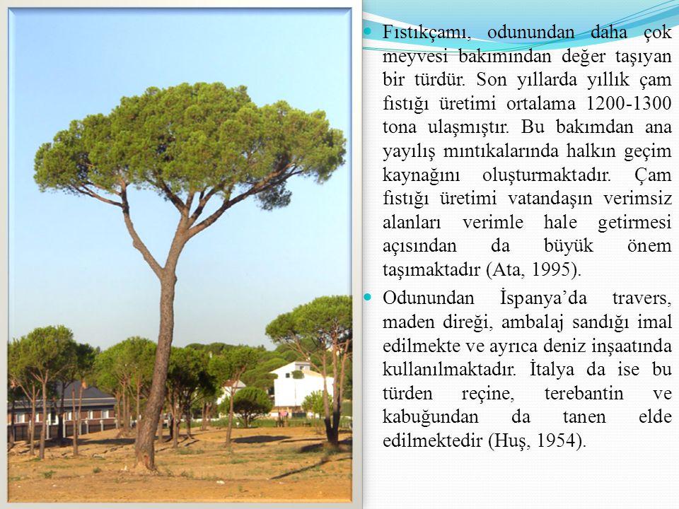Fıstıkçamı, odunundan daha çok meyvesi bakımından değer taşıyan bir türdür. Son yıllarda yıllık çam fıstığı üretimi ortalama 1200-1300 tona ulaşmıştır