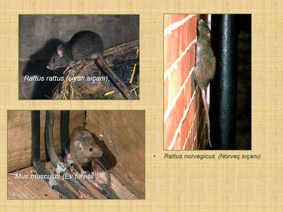 Rattus norvegicus (Norveç sıçanı)Rattus norvegicus (Norveç sıçanı) Mus musculus (Ev faresii Rattus rattus (siyah sıçanı),