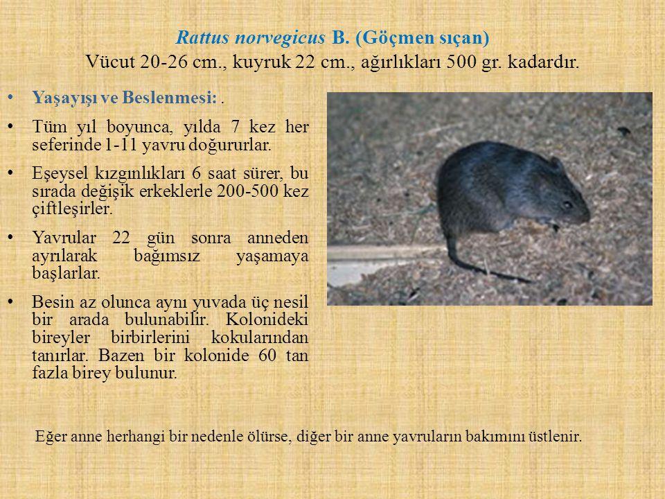 Rattus norvegicus B. (Göçmen sıçan) Vücut 20-26 cm., kuyruk 22 cm., ağırlıkları 500 gr. kadardır. Yaşayışı ve Beslenmesi:. Tüm yıl boyunca, yılda 7 ke