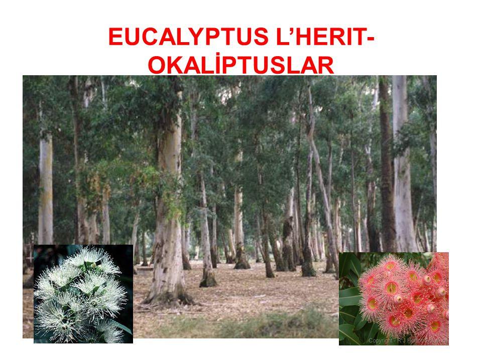EUCALYPTUS L'HERIT- OKALİPTUSLAR