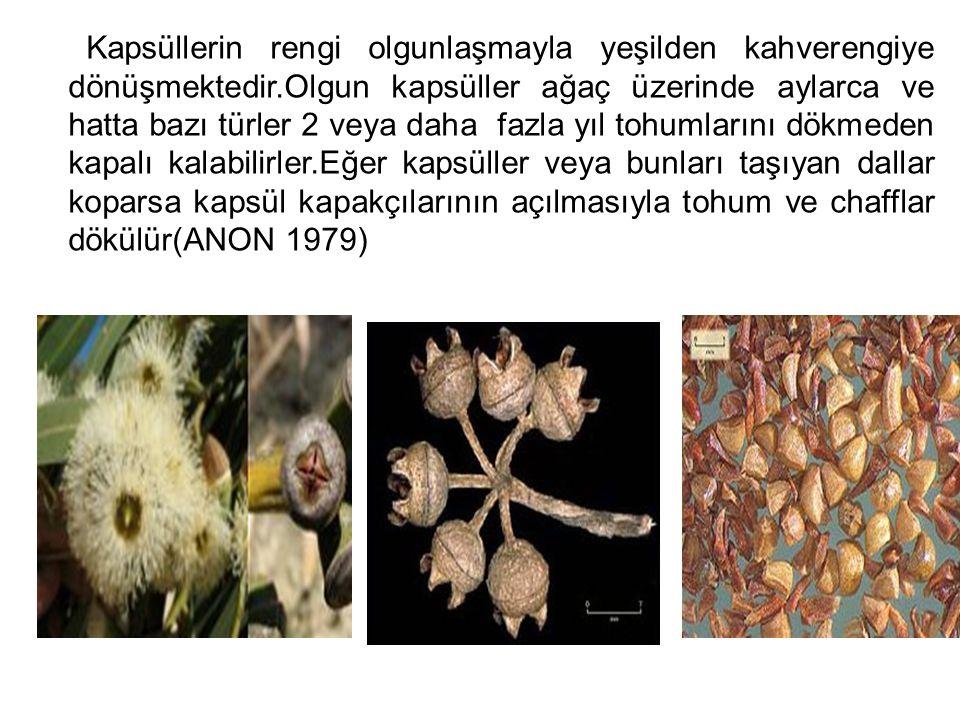 Kapsüllerin rengi olgunlaşmayla yeşilden kahverengiye dönüşmektedir.Olgun kapsüller ağaç üzerinde aylarca ve hatta bazı türler 2 veya daha fazla yıl t