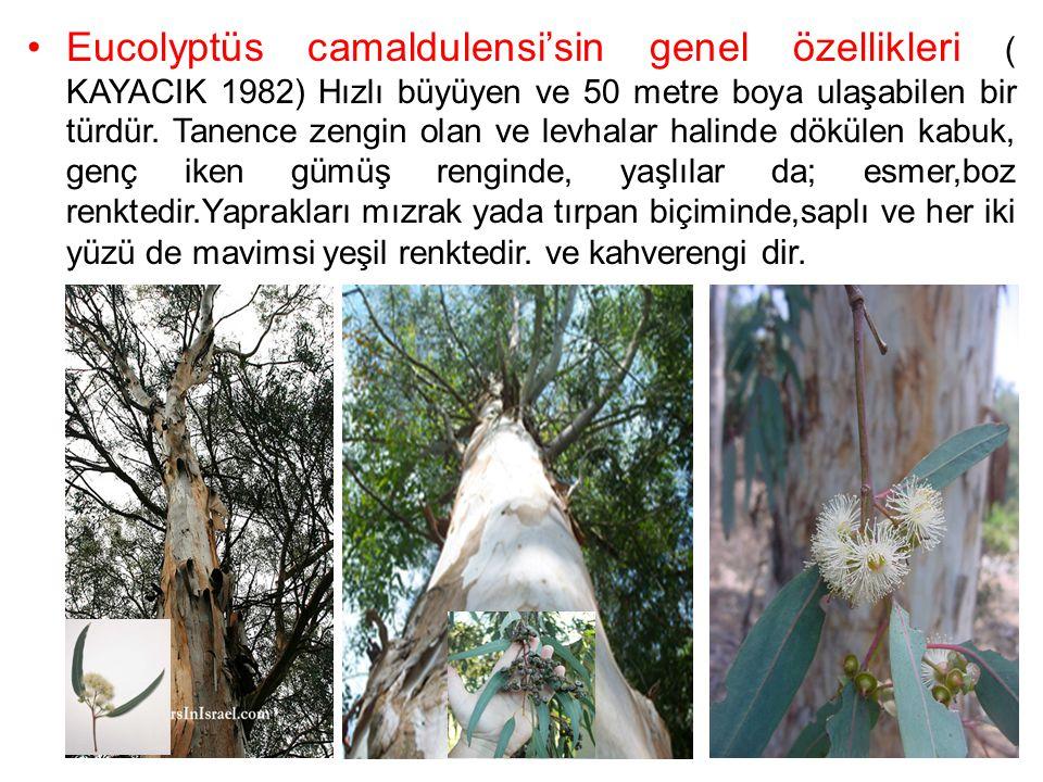 Eucolyptüs camaldulensi'sin genel özellikleri ( KAYACIK 1982) Hızlı büyüyen ve 50 metre boya ulaşabilen bir türdür. Tanence zengin olan ve levhalar ha