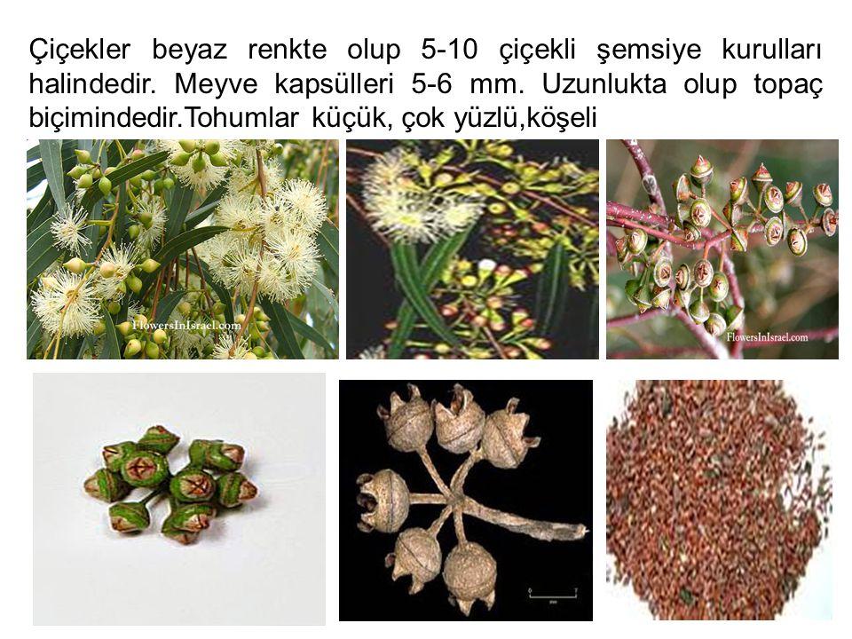 Çiçekler beyaz renkte olup 5-10 çiçekli şemsiye kurulları halindedir. Meyve kapsülleri 5-6 mm. Uzunlukta olup topaç biçimindedir.Tohumlar küçük, çok y