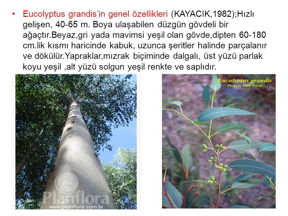 Eucolyptus grandis'in genel özellikleri (KAYACIK,1982);Hızlı gelişen, 40-65 m. Boya ulaşabilen düzgün gövdeli bir ağaçtır.Beyaz,gri yada mavimsi yeşil