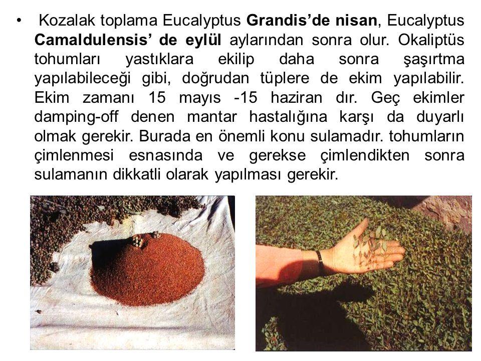 Kozalak toplama Eucalyptus Grandis'de nisan, Eucalyptus Camaldulensis' de eylül aylarından sonra olur. Okaliptüs tohumları yastıklara ekilip daha sonr