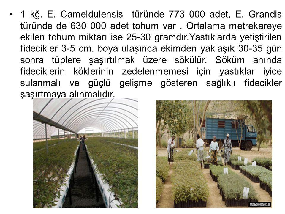 1 kğ. E. Cameldulensis türünde 773 000 adet, E. Grandis türünde de 630 000 adet tohum var. Ortalama metrekareye ekilen tohum miktarı ise 25-30 gramdır