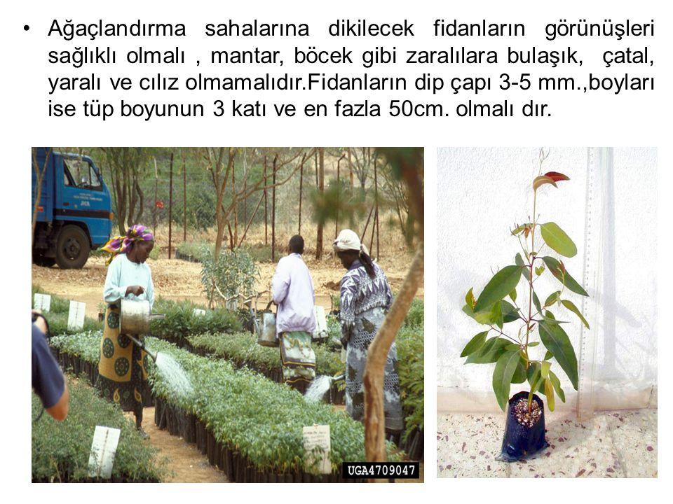 Ağaçlandırma sahalarına dikilecek fidanların görünüşleri sağlıklı olmalı, mantar, böcek gibi zaralılara bulaşık, çatal, yaralı ve cılız olmamalıdır.Fi