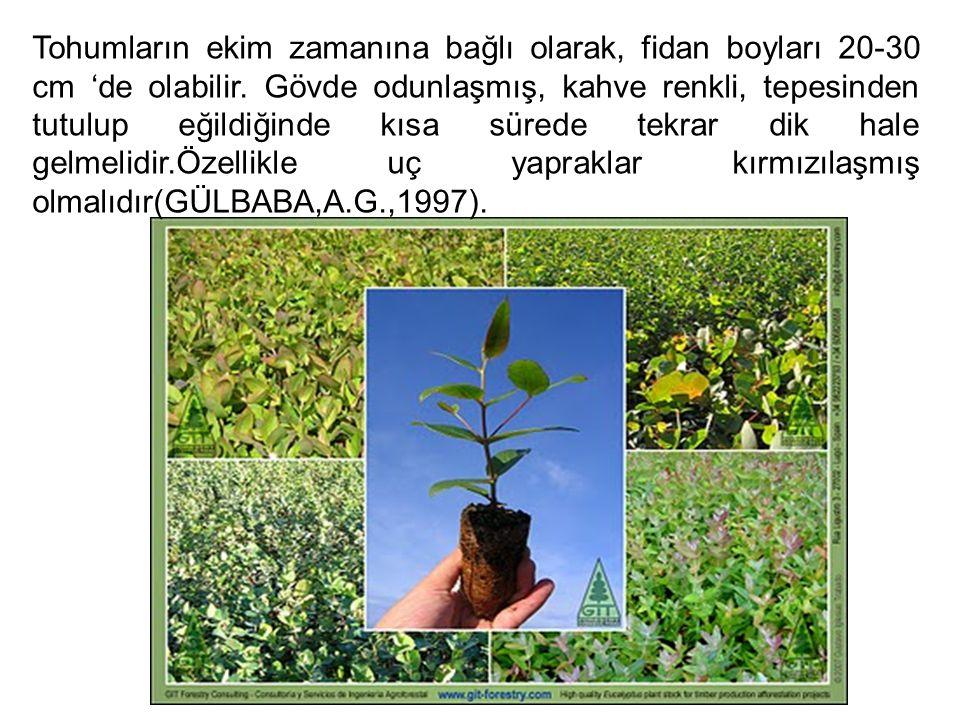 Tohumların ekim zamanına bağlı olarak, fidan boyları 20-30 cm 'de olabilir. Gövde odunlaşmış, kahve renkli, tepesinden tutulup eğildiğinde kısa sürede