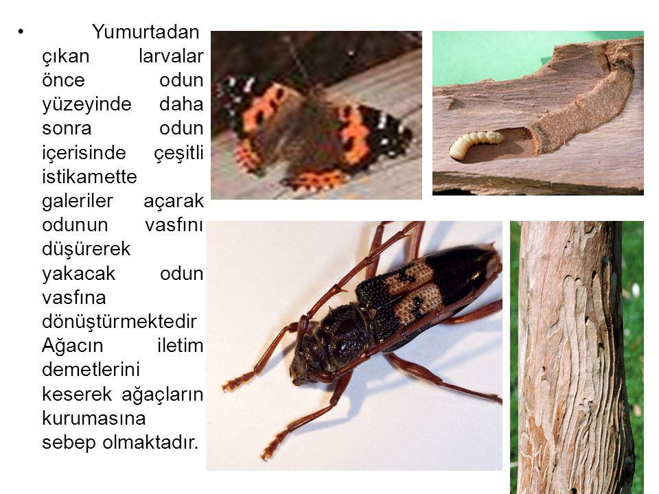 Yumurtadan çıkan larvalar önce odun yüzeyinde daha sonra odun içerisinde çeşitli istikamette galeriler açarak odunun vasfını düşürerek yakacak odun va