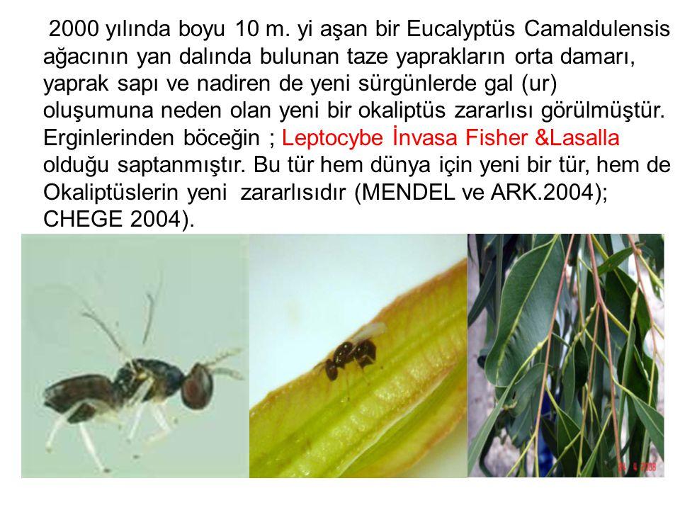 2000 yılında boyu 10 m. yi aşan bir Eucalyptüs Camaldulensis ağacının yan dalında bulunan taze yaprakların orta damarı, yaprak sapı ve nadiren de yeni