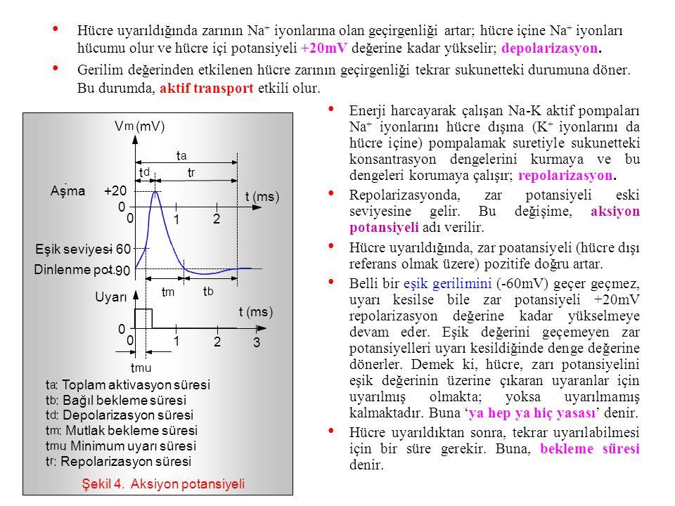 Şekil (3.4)'de, aksiyon potansiyelinin değişimi gösterilmiştir. Hücre uyarılmadığında sukunette olup sukunet potansiyeli - 90mV kadardır. Hücrenin ele